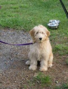 Penny - F1 Goldendoodle